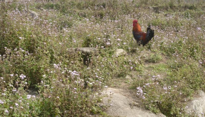 Wie alt werden Hühner in der Natur?