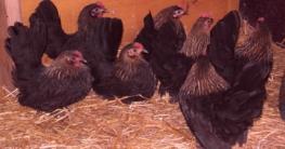 Ammenbrut mit Chabo-Hühnern