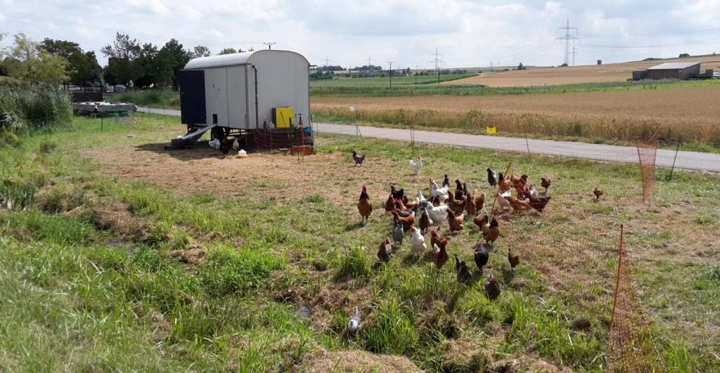 Der mobile Hühnerstall mit Freilauf